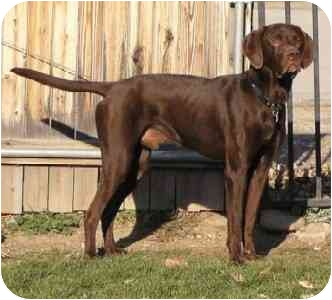 Vizsla/Labrador Retriever Mix Dog for adoption in Provo, Utah - Packer
