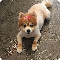 Adopt A Pet :: Foxy - Plainview, NY