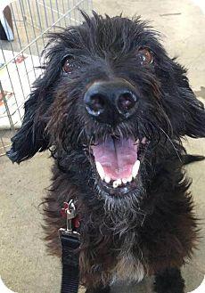 Terrier (Unknown Type, Medium)/Cockapoo Mix Dog for adoption in Encino, California - Jasmine