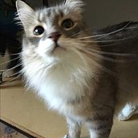 Domestic Longhair Cat for adoption in Gilbert, Arizona - Zeus