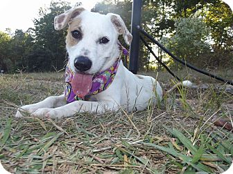 Jack Russell Terrier Mix Puppy for adoption in Albemarle, North Carolina - Lucy