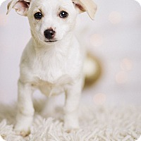 Adopt A Pet :: Storm - Portland, OR