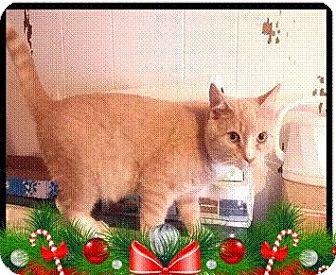 Domestic Shorthair Kitten for adoption in THORNHILL, Ontario - HOBBES