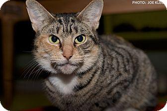 Domestic Shorthair Cat for adoption in Medina, Ohio - Lola
