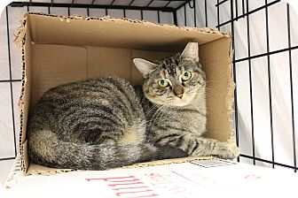 Domestic Shorthair Cat for adoption in Warwick, Rhode Island - Mindy