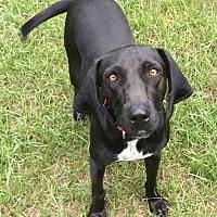 Adopt A Pet :: Jo Jo - Manchester, NH