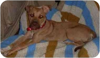 Hound (Unknown Type)/American Pit Bull Terrier Mix Dog for adoption in Gilbert, Arizona - Ophelia