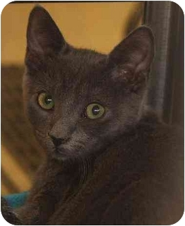 Domestic Shorthair Kitten for adoption in Woodstock, Georgia - Dylan