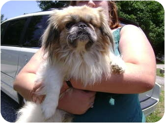 Pekingese Dog for adoption in Owingsville, Kentucky - Andy