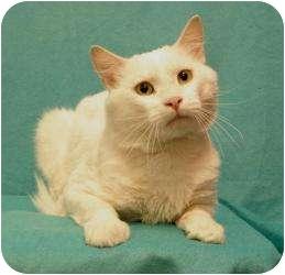 Domestic Shorthair Cat for adoption in Sacramento, California - Cloud