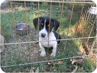 Beagle Mix Puppy for adoption in Vidor, Texas - BARNEY