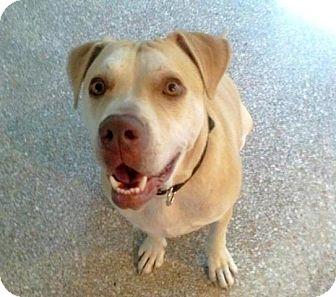 Labrador Retriever/Hound (Unknown Type) Mix Dog for adoption in Boca Raton, Florida - Luther - The Golden Boy