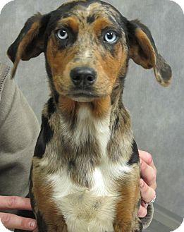 Australian Shepherd/Hound (Unknown Type) Mix Puppy for adoption in Foster, Rhode Island - Kaylee
