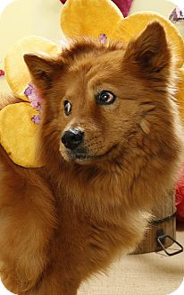 Chow Chow Mix Dog for adoption in Ponderay, Idaho - Cookie