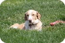 Golden Retriever Mix Dog for adoption in Russellville, Kentucky - Ross