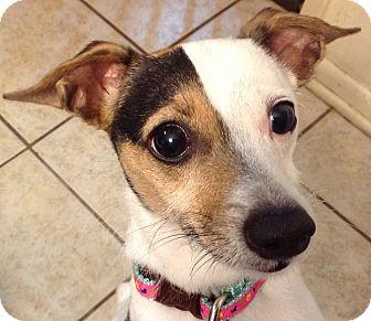 Rat Terrier/Italian Greyhound Mix Dog for adoption in Harrah, Oklahoma - Sadie
