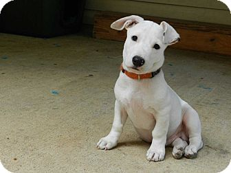 Jack Russell Terrier Mix Puppy for adoption in Salem, New Hampshire - SIMON