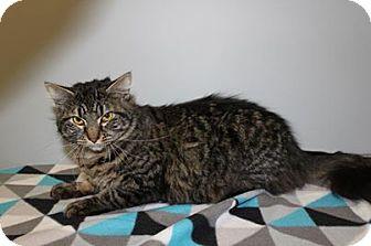 Domestic Longhair Cat for adoption in HARRISONVILLE, Missouri - Pepper