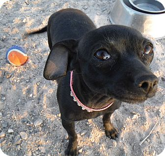 Chihuahua Dog for adoption in Arenas Valley, New Mexico - Diamond