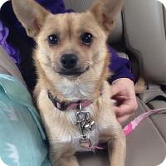 Chihuahua Dog for adoption in Marlton, New Jersey - Little Josie
