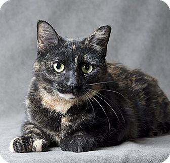 Calico Cat for adoption in Wilmington, Delaware - Tammy