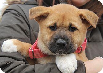 Akita/Shepherd (Unknown Type) Mix Puppy for adoption in Chicago, Illinois - Nora - beauty