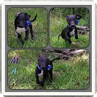 Labrador Retriever Mix Puppy for adoption in East Hartford, Connecticut - Max 1 in CT