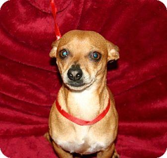 Dachshund/Chihuahua Mix Dog for adoption in Va Beach, Virginia - Mork