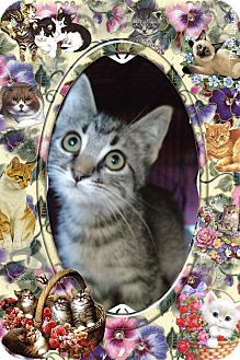 Domestic Shorthair Kitten for adoption in Pueblo West, Colorado - *