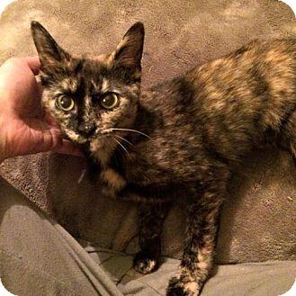 Domestic Shorthair Cat for adoption in Hamilton, Ontario - Stormy