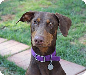 Doberman Pinscher Dog for adoption in New Richmond, Ohio - Zeke--pending