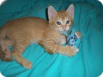 Domestic Shorthair Kitten for adoption in Tampa, Florida - Mark