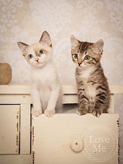 Domestic Shorthair Cat for adoption in San Jose, California - Kittens!