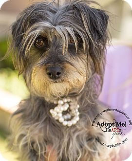 Yorkie, Yorkshire Terrier Mix Dog for adoption in Inland Empire, California - STELLA