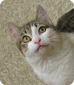 Domestic Mediumhair Kitten for adoption in Tulsa, Oklahoma - Sea Biscuit