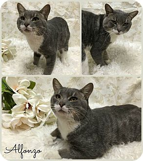 Domestic Shorthair Cat for adoption in Joliet, Illinois - Alfonzo