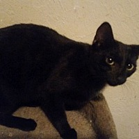 Adopt A Pet :: Onyx - Bronson, FL