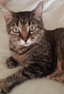 Domestic Shorthair/Domestic Shorthair Mix Cat for adoption in Santa Fe, Texas - April Rose