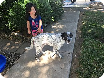 Pointer/Jack Russell Terrier Mix Dog for adoption in Davis, California - LIL MOOSE