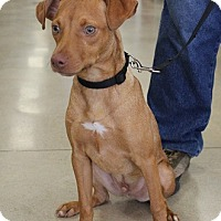 Adopt A Pet :: Rusty - Claremore, OK