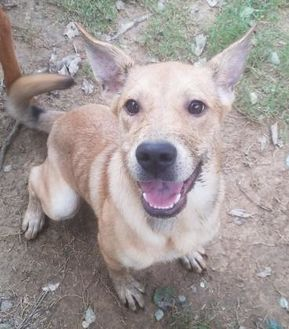 Shepherd (Unknown Type) Mix Dog for adoption in Gadsden, Alabama - Sandy