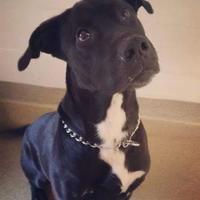 Adopt A Pet :: Ali - Tiger, GA