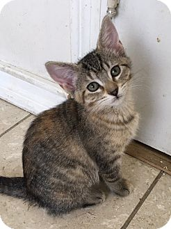 Domestic Shorthair Kitten for adoption in St. Louis, Missouri - Welly