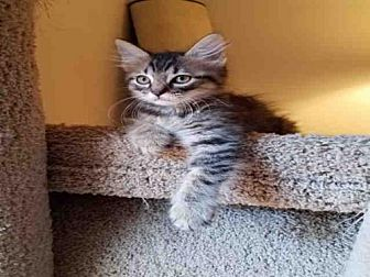 Domestic Mediumhair Kitten for adoption in Jacksonville, Florida - PRINCE CHARMING