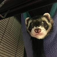 Ferret for adoption in Waterford, Virginia - DEAN