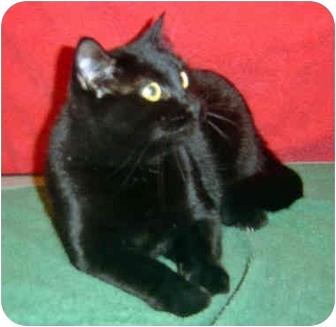 Domestic Shorthair Cat for adoption in Overland Park, Kansas - Frankie