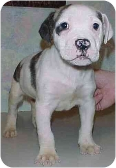 Pit Bull Terrier Mix Puppy for adoption in North Judson, Indiana - Petey