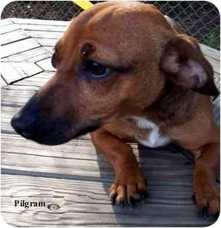 Dachshund Mix Dog for adoption in Slidell, Louisiana - Pilgram