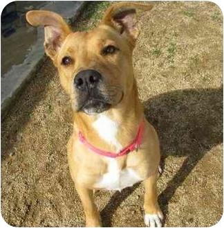 Labrador Retriever Mix Dog for adoption in San Clemente, California - HOLLY