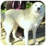 Photo 3 - Great Pyrenees Mix Dog for adoption in Wakefield, Rhode Island - ANGEL